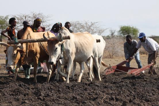 Developing a roadside pond with oxen scoop and compactor in Tanzania